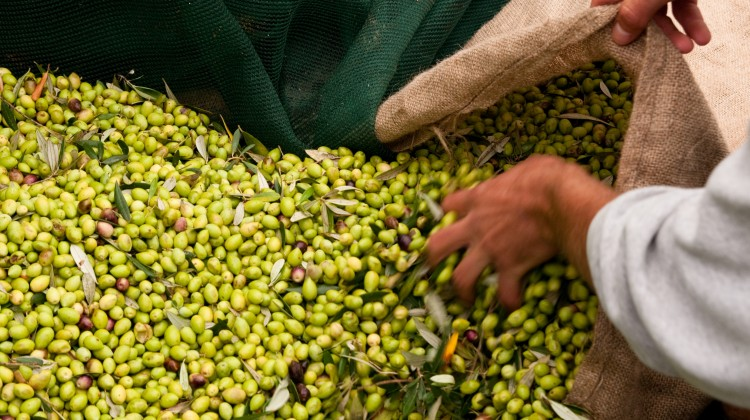 Da Flickr.com, Olive harvesting Costa Navarino, foto di costanavarino, Licenza Creative Commons (CC BY-ND 2.0)